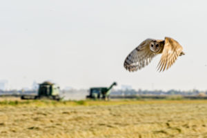 Barn owl flying over field