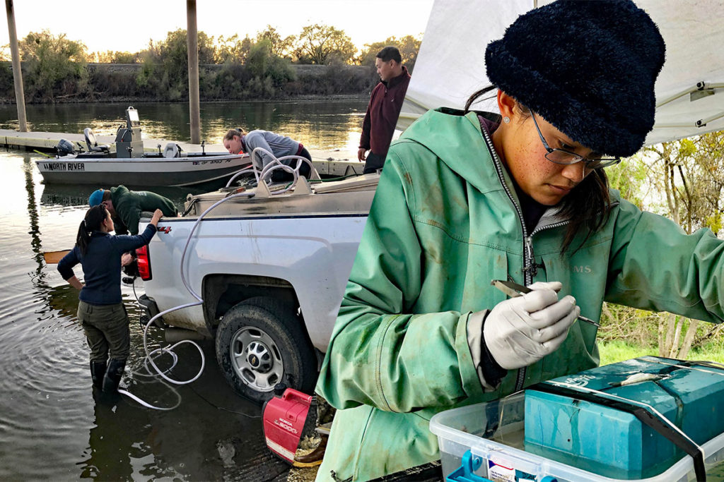Young salmon are released into the Sacramento River