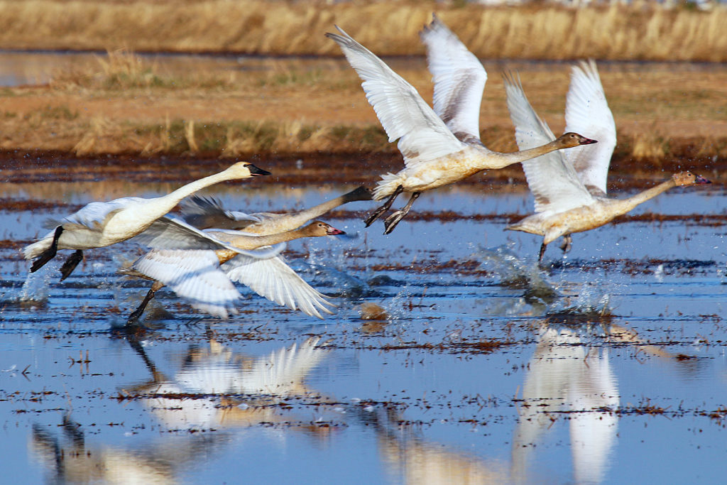 swans taking flight from flooded rice field