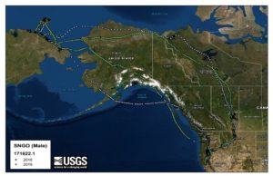 USGS map showing tracking data of goose migration routes