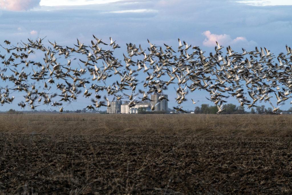 birds taking flight from fallow rice field in winter