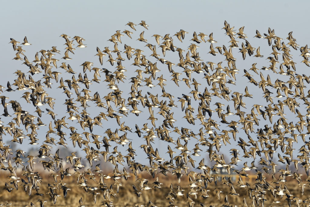 Dunlin flock taking flight